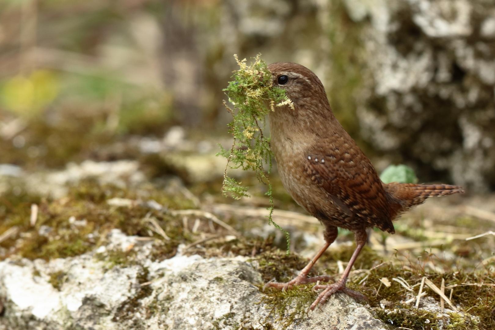 Zaunkonig Beim Nestbau Foto Bild Tiere Wildlife Wild Lebende