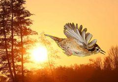 Zaunkönig im Sonnenaufgang