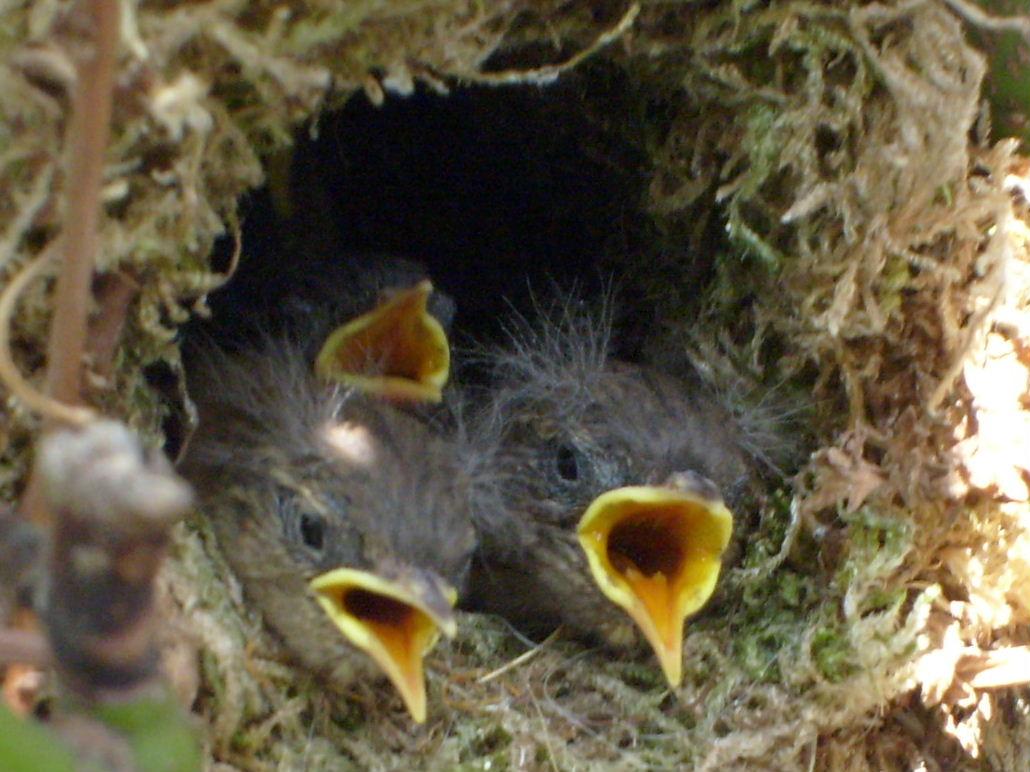 Zaunkonige S6301562 Foto Bild Natur Vogel Wildlife Bilder Auf