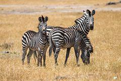 //zebra//