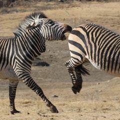 Zebra Action