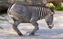 zebra beim baden