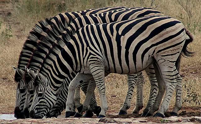 Zebra Games