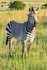 Zebra Hengst P1060848