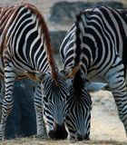 Zebra im Doppelpack