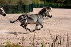Zebra im Galopp