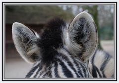 Zebra im Krefelder Zoo
