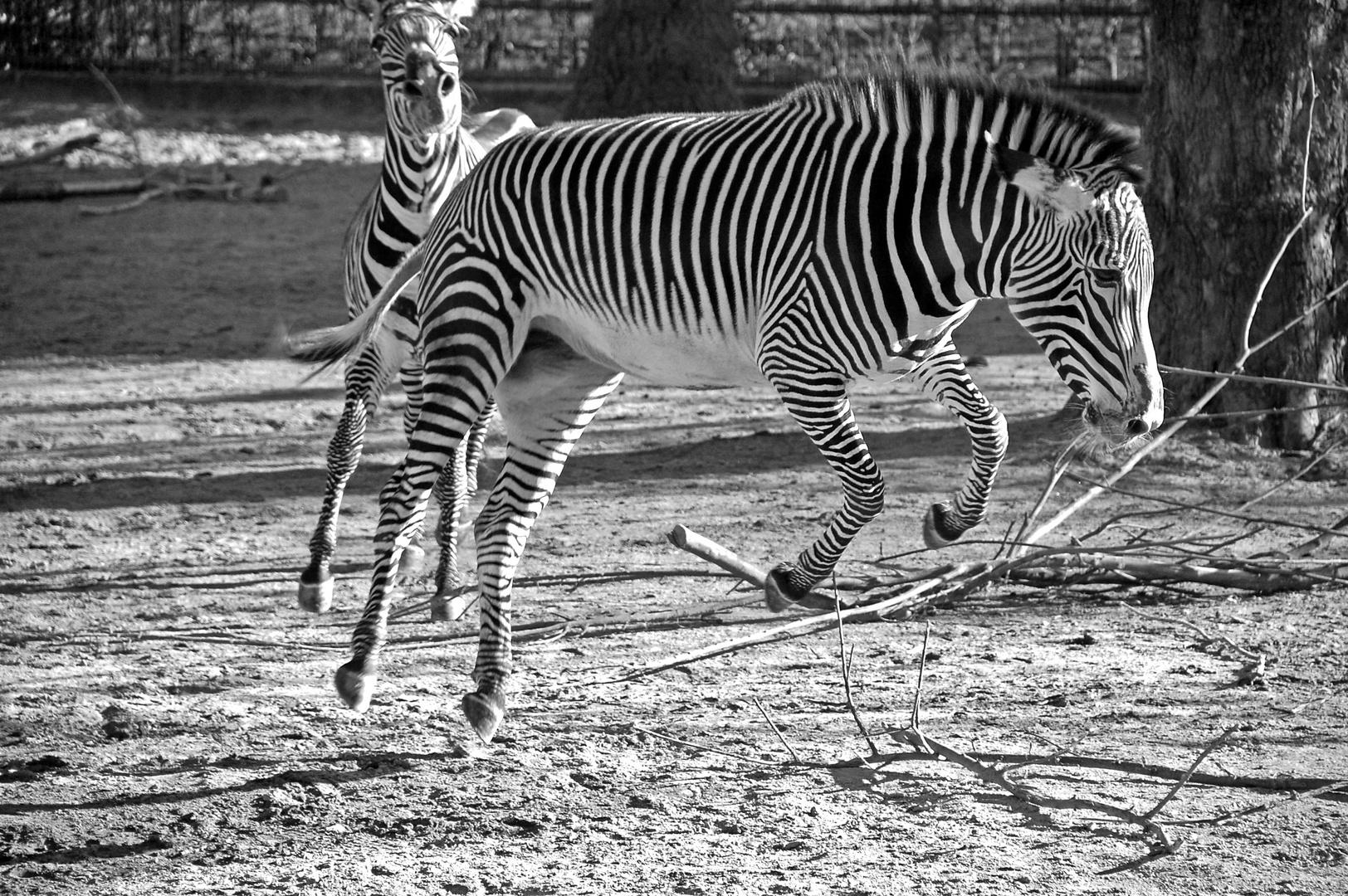 Zebra in Aktion