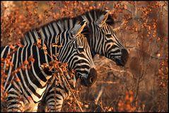 Zebra in Doppelpack ;-))