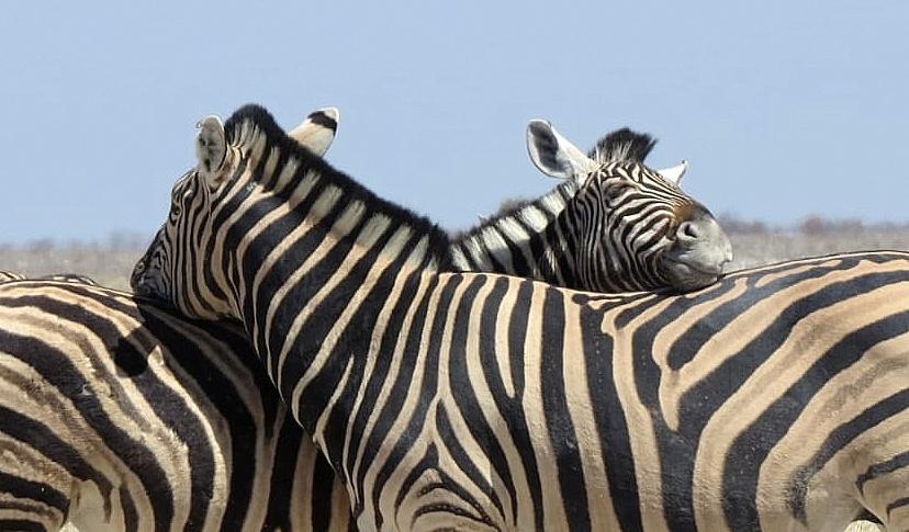 Zebra-Kuscheln