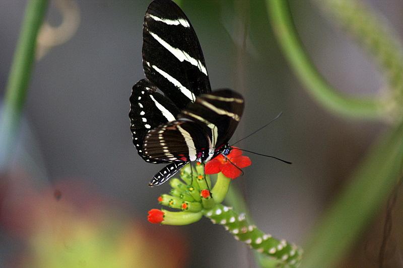 Zebra Longwing getting Nectar
