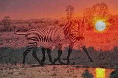 Zebra Love Sundowner DigiArt 1