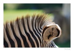 Zebra-Makro ;-)