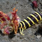 Zebra Mantis 2