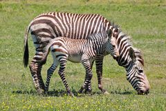 Zebra Mutter mit Tocher 8283