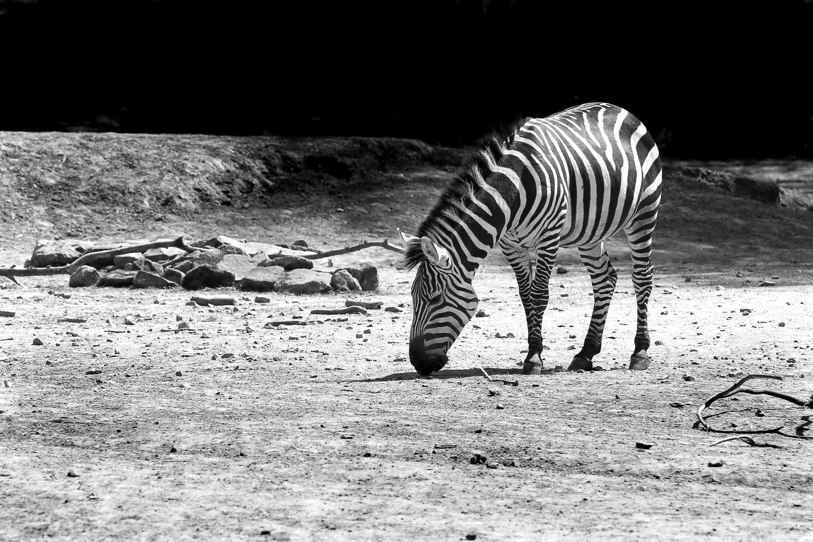 Zebra on the moon