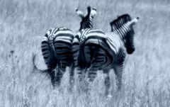 Zebra Pärchen