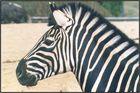 Zebra Porträt