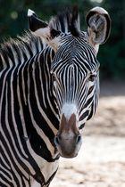 ~ Zebra Portrait ~