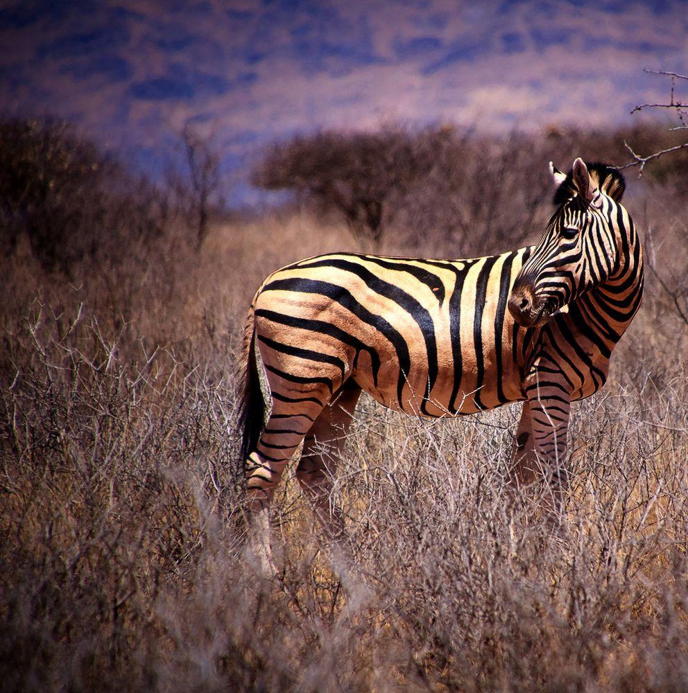 Zebra Rückblick