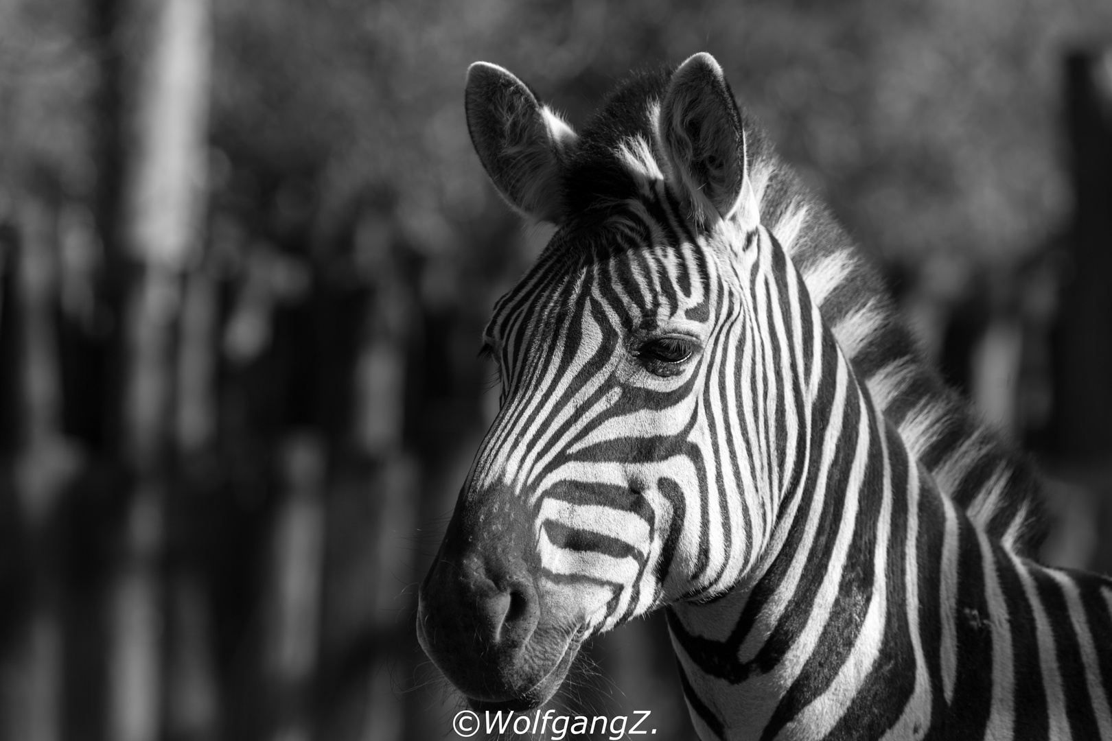 Zebra schwarzweiß