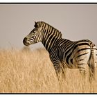 Zebra stance