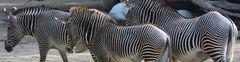 Zebra-Streifen