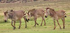 Zebra-Streifen im Dreier Pack