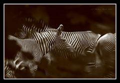 Zebra-Träume