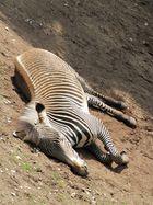 Zebra wälzt sich