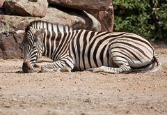 Zebra - Zoo Heidelberg