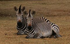 Zebra-Zwillinge