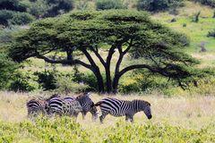 Zebragruppe...