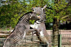 Zebrakampf