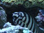 Zebramuränchen