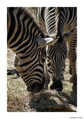 Zebra`s