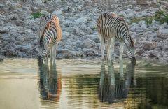 Zebras am Abend