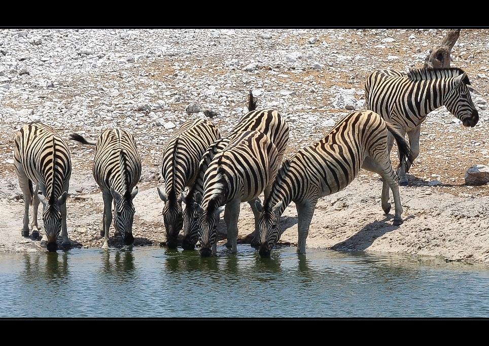 Zebras am Wasserloch
