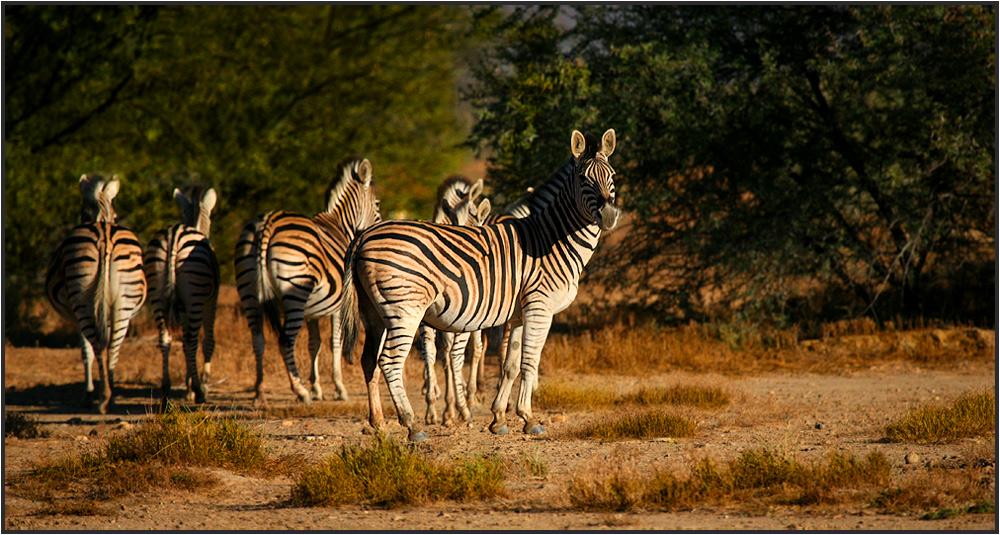 Zebra`s auf der Flucht!!!