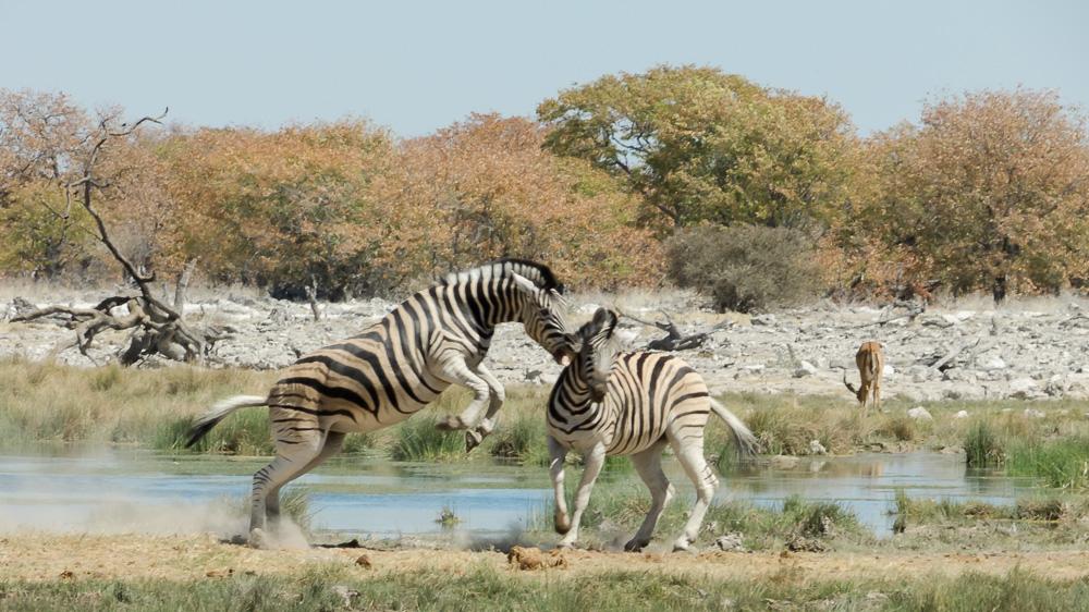 Zebras beim Flirten
