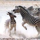 Zebras beim Kämpfen