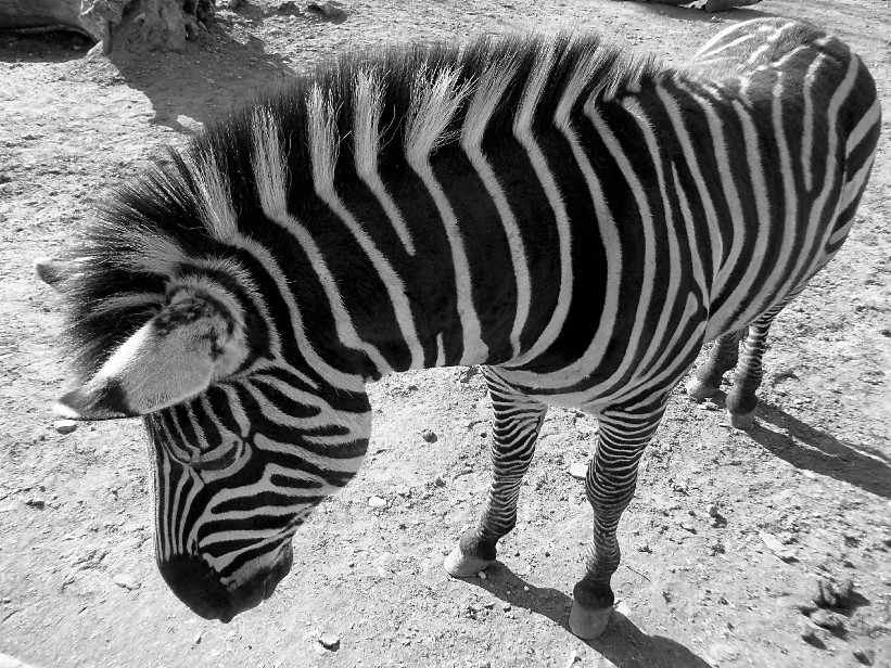 Zebra's black and white elegance