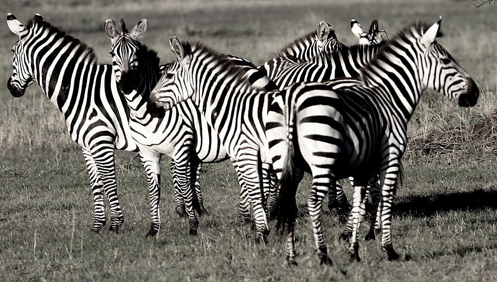 Zebras b/w