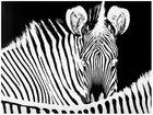 """...""""Zebras""""..."""