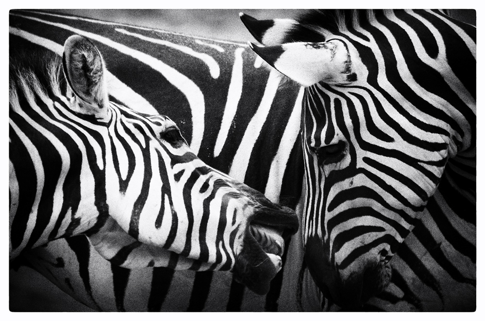 >>> Zebras