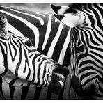 >>> Zebras <<<
