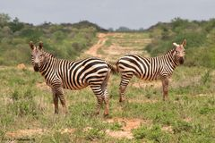 Zebras im