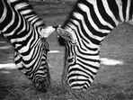 Zebras im Dämmerlicht - Take one
