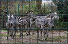 Zebras im Dortmunder Zoo