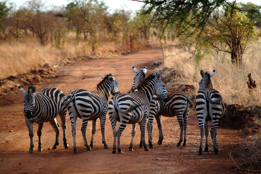Zebras im Merupark